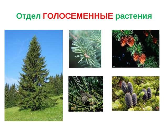Отдел ГОЛОСЕМЕННЫЕ растения