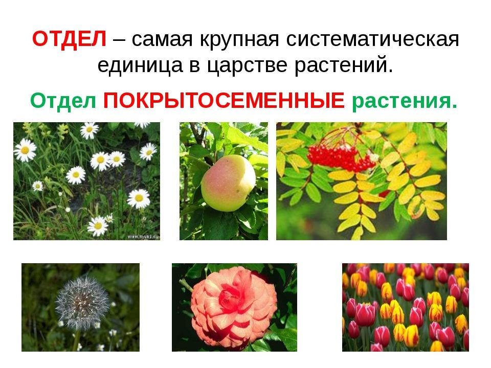 Какие растения относятся к голосеменным фото