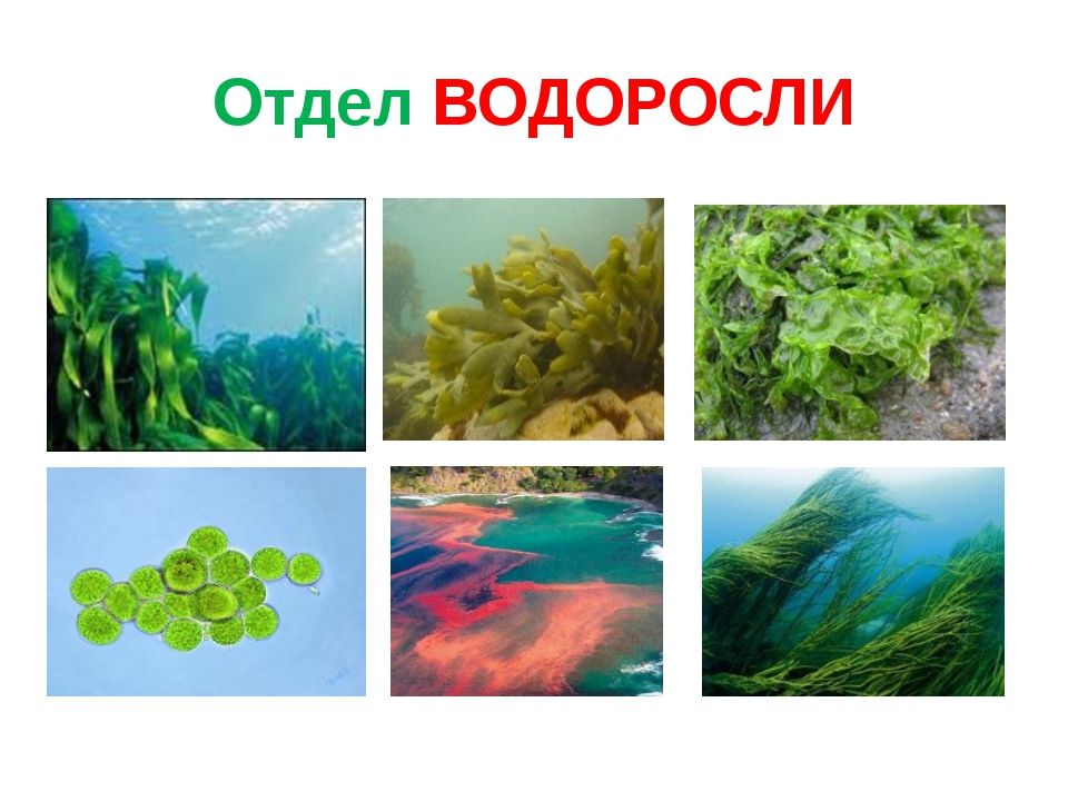 Отдел ВОДОРОСЛИ