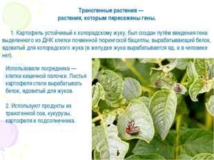 Трансгенные растения — растения, которым пересажены гены. 1. Картофель устойч
