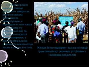 Жители Кении проверяют, как растет новый трансгенный сорт зерновых, устойчивы