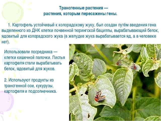 Трансгенные растения — растения, которым пересажены гены. 1. Картофель устойч...