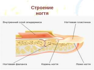 Строение ногтя
