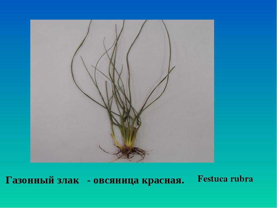 Festuca rubra Газонный злак - овсяница красная.