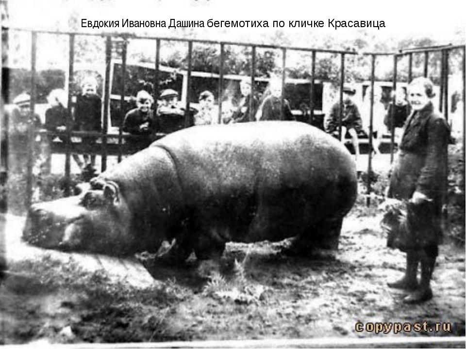 Евдокия Ивановна Дашина бегемотиха по кличке Красавица