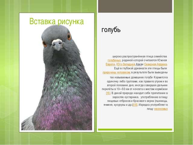 голубь широко распространённая птица семействаголубиных, родиной которой сч...