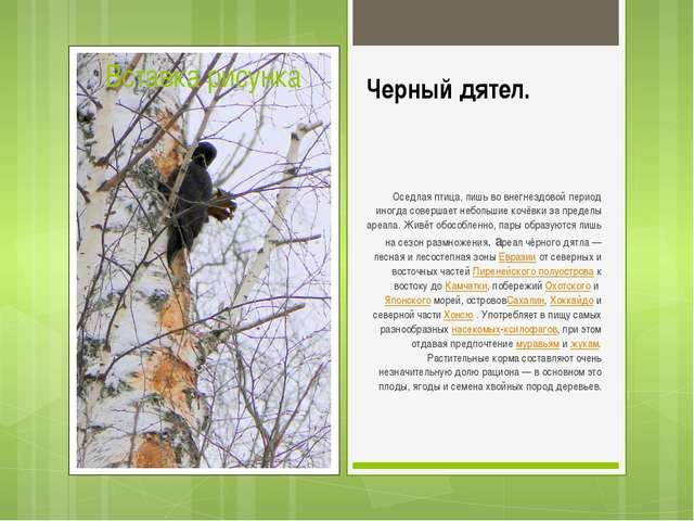 Черный дятел. Оседлая птица, лишь во внегнездовой период иногда совершает неб...