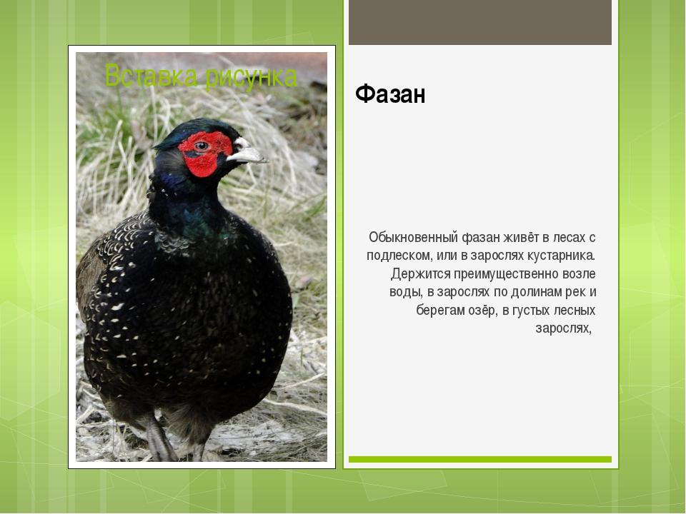Фазан Обыкновенный фазан живёт в лесах с подлеском, или в зарослях кустарника...
