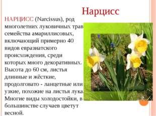 НАРЦИСС (Narcissus), род многолетних луковичных трав семейства амариллисовых,