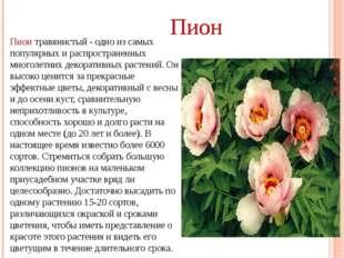 Пион травянистый - одно из самых популярных и распространенных многолетних де