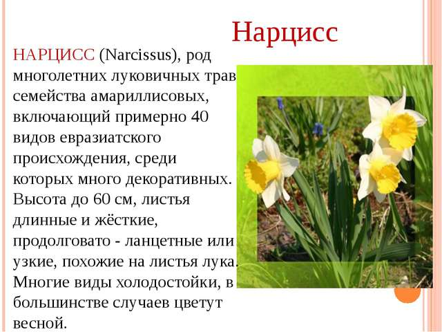 НАРЦИСС (Narcissus), род многолетних луковичных трав семейства амариллисовых,...