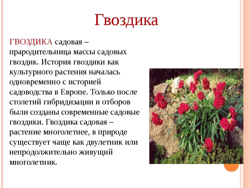 ГВОЗДИКА садовая – прародительница массы садовых гвоздик. История гвоздики ка...