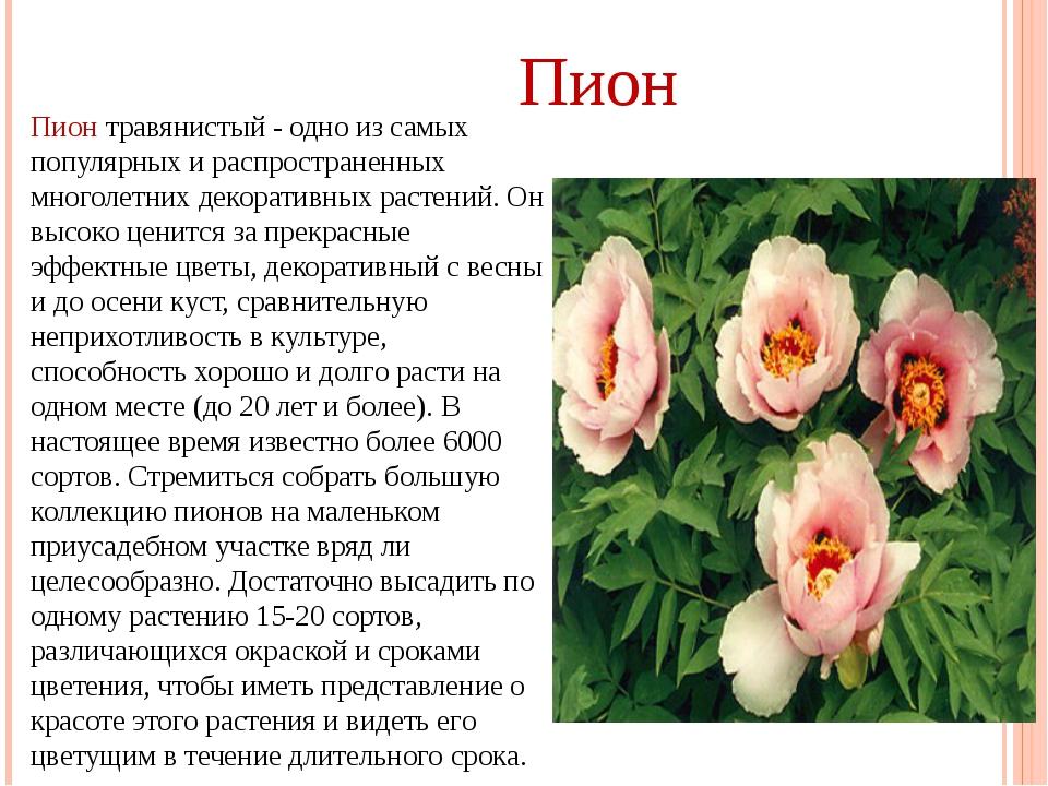 Пион травянистый - одно из самых популярных и распространенных многолетних де...