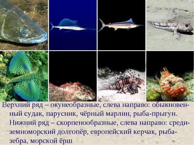 Верхний ряд – окунеобразные, слева направо: обыкновен-ный судак, парусник, чё...