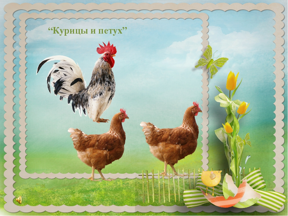 """Курицы и петух"""