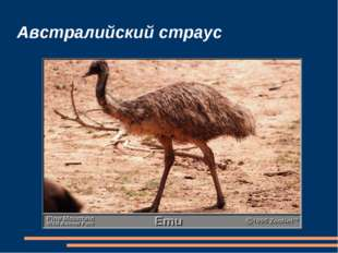 Австралийский страус