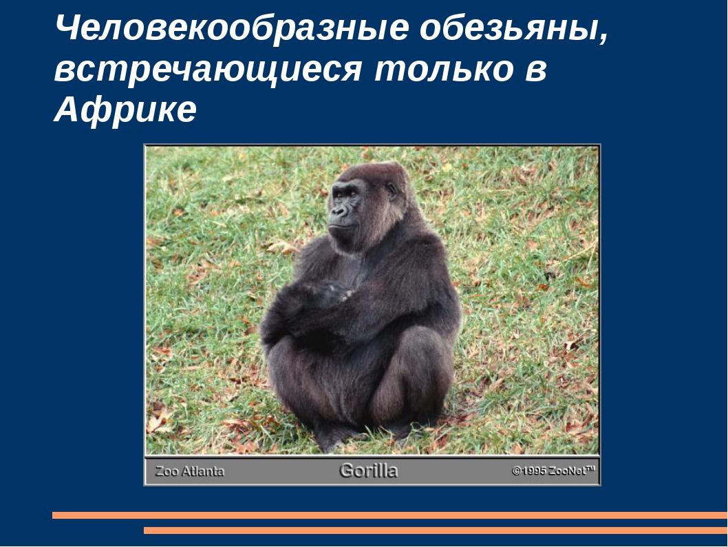 Человекообразные обезьяны, встречающиеся только в Африке