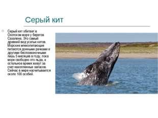 Серый кит Серый кит обитает в Охотском море у берегов Сахалина. Это самый дре