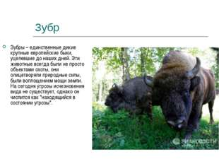 Зубр Зубры – единственные дикие крупные европейские быки, уцелевшие до наших