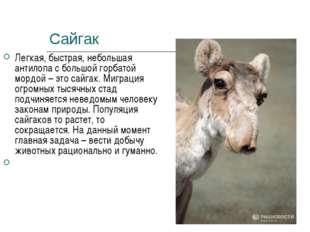 Сайгак Легкая, быстрая, небольшая антилопа с большой горбатой мордой – это са