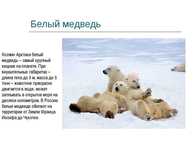 Белый медведь Хозяин Арктики белый медведь – самый крупный хищник на планете....