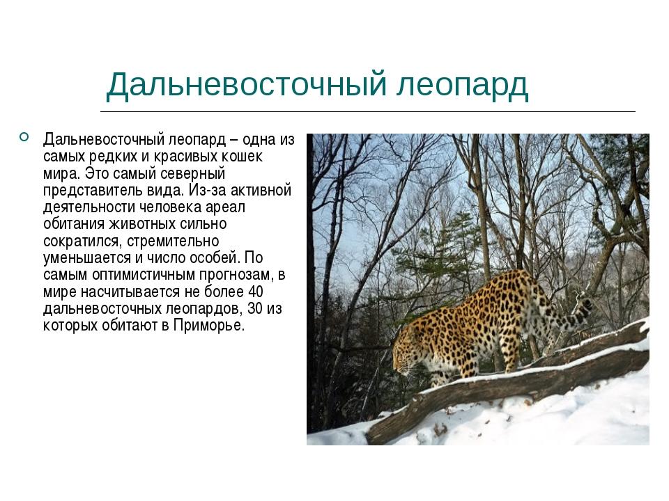 Дальневосточный леопард Дальневосточный леопард – одна из самых редких и кра...