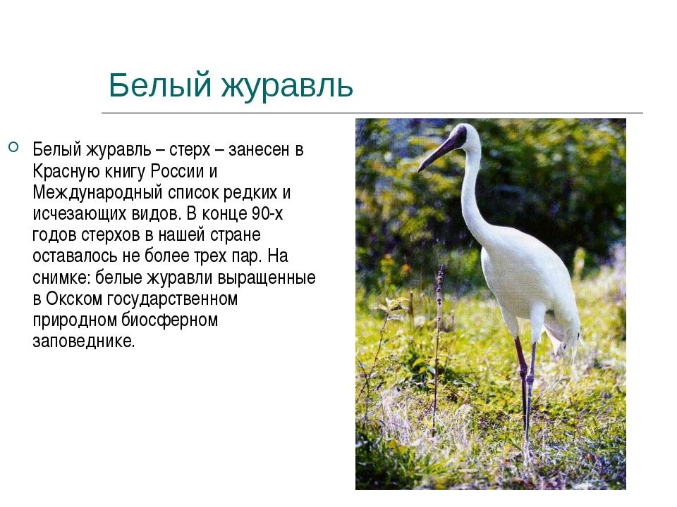 Белый журавль Белый журавль – стерх – занесен в Красную книгу России и Междун...