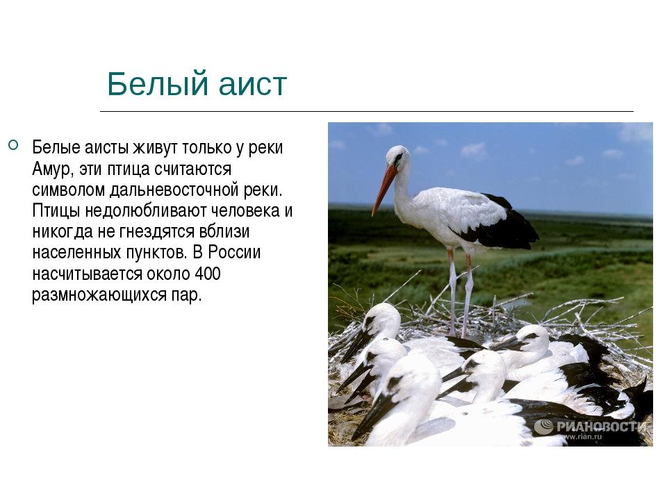 Белый аист Белые аисты живут только у реки Амур, эти птица считаются символом...