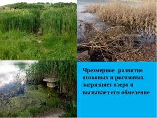 Чрезмерное развитие осоковых и рогозовых загрязняет озеро и вызывает его обм