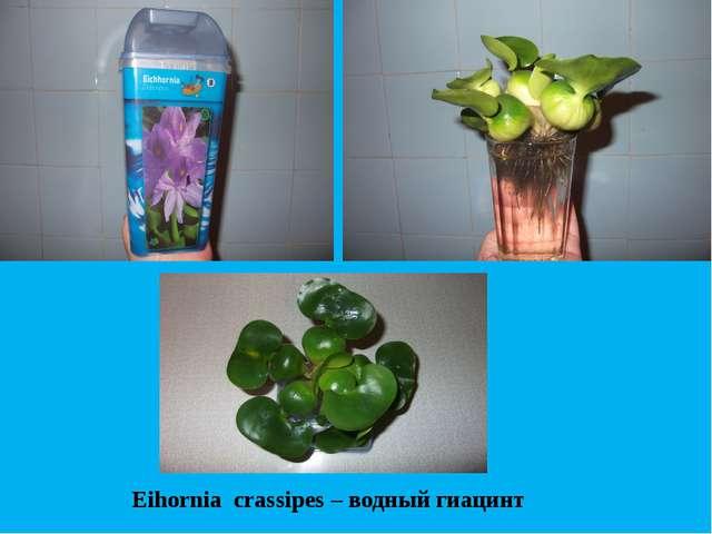 Eihornia crassipes – водный гиацинт