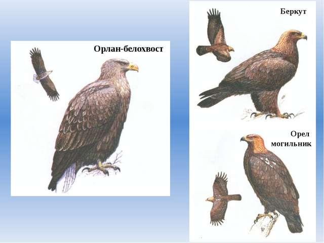 Орлан-белохвост Беркут Орел могильник