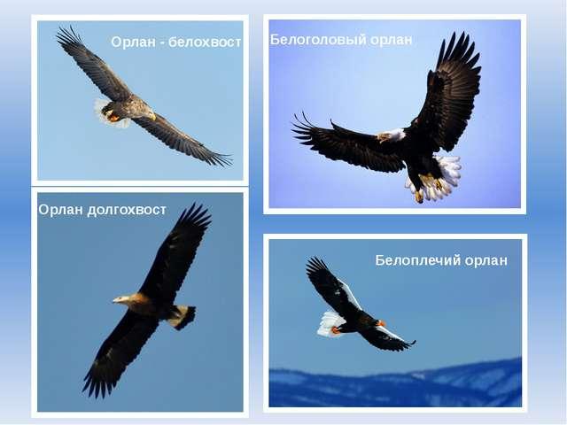 Орлан - белохвост Белоголовый орлан Орлан долгохвост Белоплечий орлан