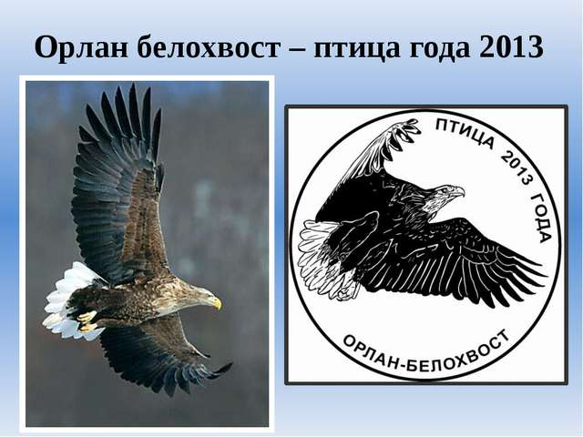 Орлан белохвост – птица года 2013