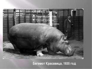 Бегемот Красавица, 1935 год