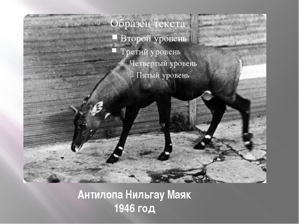 Антилопа Нильгау Маяк 1946 год