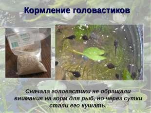 Сначала головастики не обращали внимания на корм для рыб, но через сутки стал
