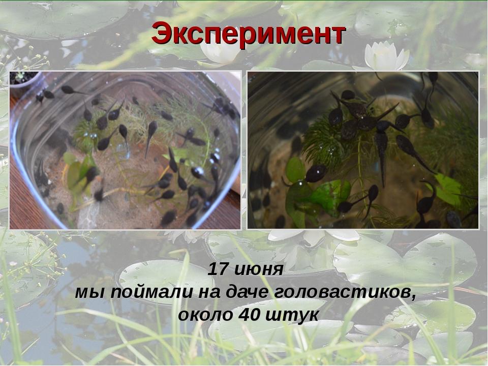 17 июня мы поймали на даче головастиков, около 40 штук Эксперимент