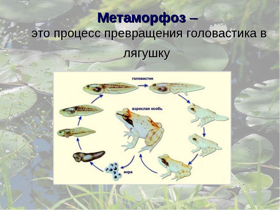 Метаморфоз – это процесс превращения головастика в лягушку
