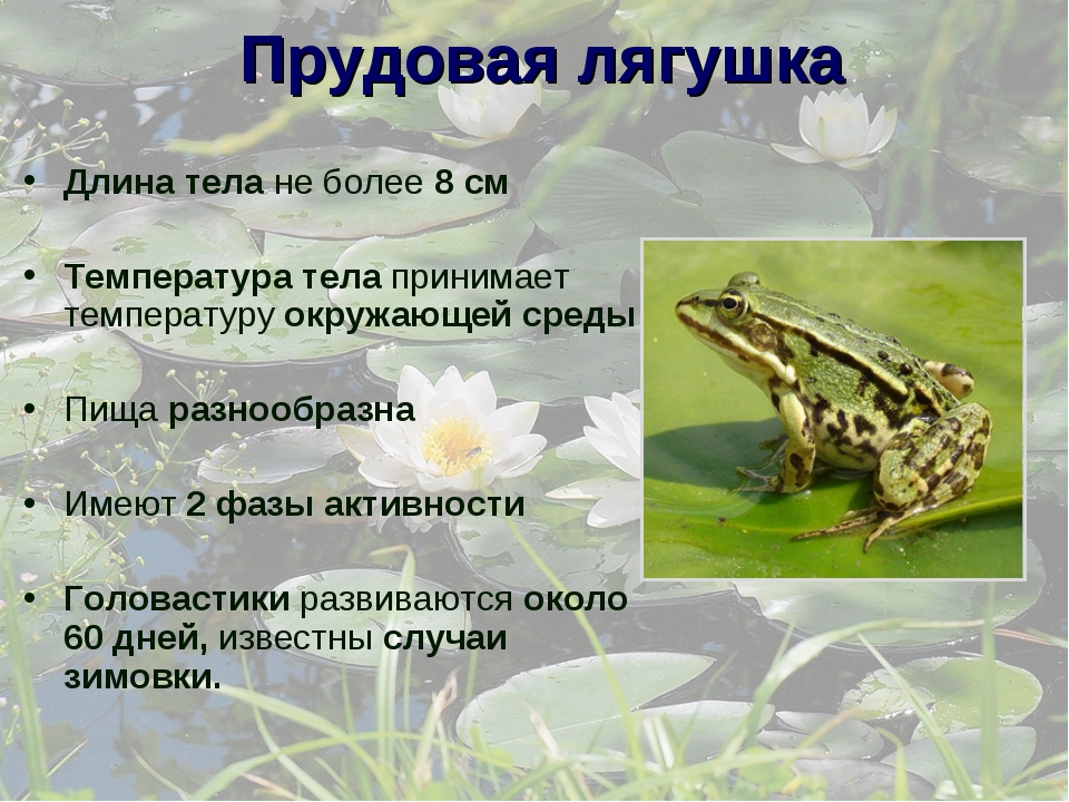 Прудовая лягушка Длина тела не более 8 см Температура тела принимает температ...