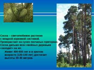 Сосна – светолюбивое растение с мощной корневой системой. Произрастает на сух