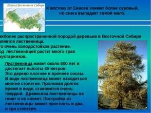 Лиственница живет около 600 лет и достигает высоты 45 метров. Это дерево плот