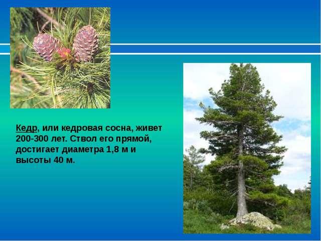 Кедр, или кедровая сосна, живет 200-300 лет. Ствол его прямой, достигает диам...