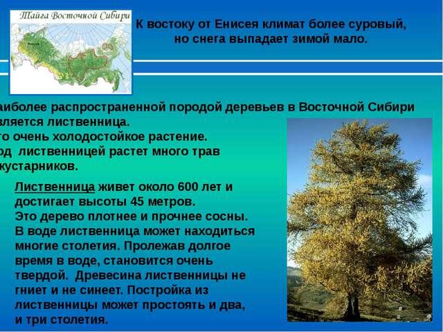 Лиственница живет около 600 лет и достигает высоты 45 метров. Это дерево плот...