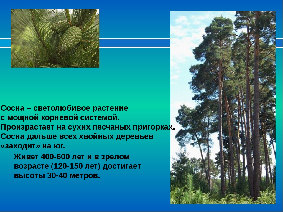 Сосна – светолюбивое растение с мощной корневой системой. Произрастает на сух...