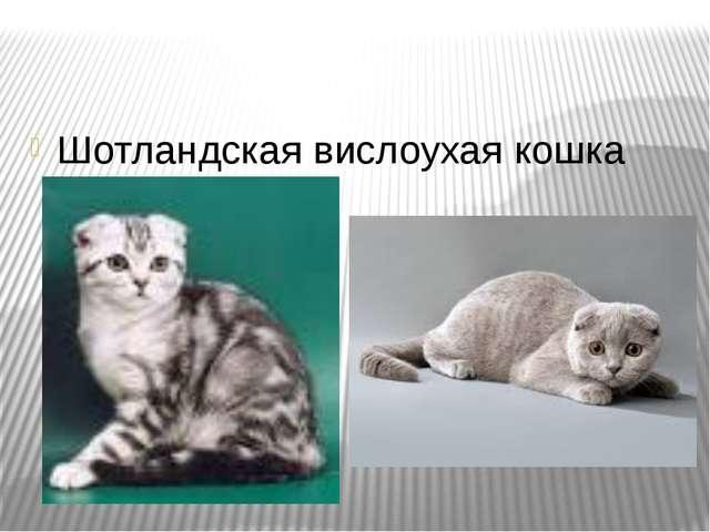 Презентацию на тему шотландские кошки