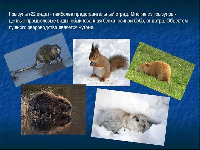 Грызуны (22 вида) - наиболее представительный отряд. Многие из грызунов - цен...