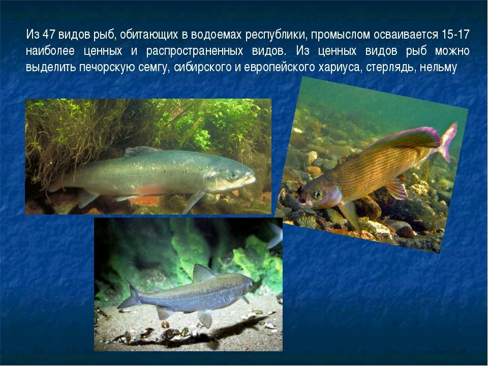Из 47 видов рыб, обитающих в водоемах республики, промыслом осваивается 15-17...