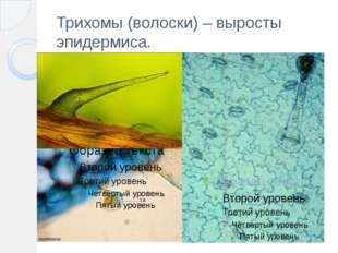 Трихомы (волоски) – выросты эпидермиса.