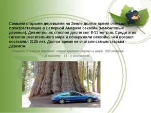Самыми старыми деревьями на Земле долгое время считались произрастающие в Се