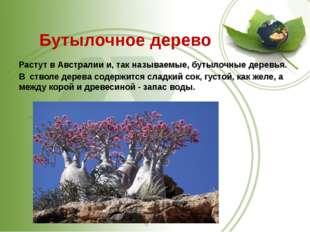 Бутылочное дерево Растут в Австралии и, так называемые,бутылочные деревья.